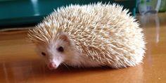 sneaky looking hedgehog