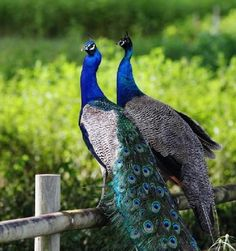 Male and female peacock..... - Pixdaus