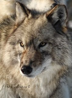 Stop Killing Wolves! — Gray Wolf by Roby Castonguay Wolf Photos, Wolf Pictures, Animal Pictures, Beautiful Wolves, Most Beautiful Animals, Wolf Spirit, My Spirit Animal, Totems, Animals And Pets