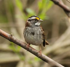White-throated Sparrow by Michigan Kim, via Flickr