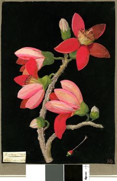 Bombax Ceiba (Linn formerly in an album (Vol.II, 1780 Collage of coloured papers, with bodycolour and watercolour, on black ink background by Mary Delaney. Botanical Flowers, Botanical Art, Plant Illustration, Botanical Illustration, Vintage Botanical Prints, Vintage Art, Flower Images, Flower Art, Watercolor Landscape
