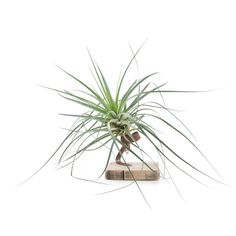 Green Lifestyle Store Kamerplant Tillandsia Airplant - Roest - afbeelding 1