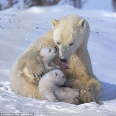 Playful polar bears have fun with mum as they frolic in the snow - Tierkinder + Mamas + Papas - Animals Baby Polar Bears, Cute Polar Bear, Baby Pandas, Giant Pandas, Bear Pictures, Cute Animal Pictures, Bear Photos, Adorable Pictures, Nature Animals
