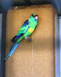 Scarlet Chested Parakeet Mutations | mallee ringnecked parrot photo
