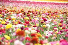field of flowers;