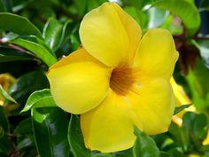 Alamanda flower.