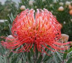 Leucospermum 'Blanche Ito' at San Marcos Growers All Plants, Types Of Plants, Red Flowers, Colorful Flowers, California Garden, Plant Identification, African Flowers, Plant Images, Evergreen Shrubs