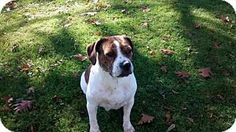 Lockport, NY - English Bulldog/Beagle Mix. Meet Maddie, a dog for adoption. http://www.adoptapet.com/pet/14291513-lockport-new-york-english-bulldog-mix