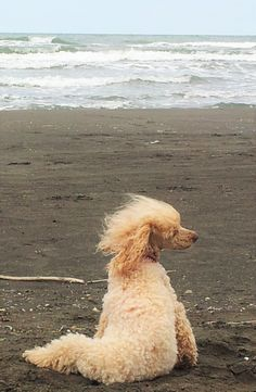 """♔ Poodle: """"Honey"""" poodle adorable puppy pup cute lovely classy"""
