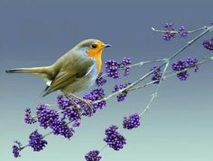 Little Robin redbrest.