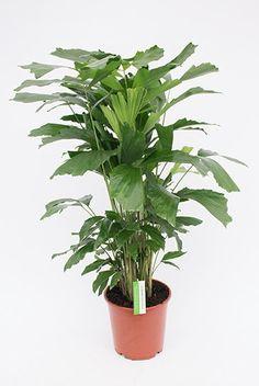 Palm Caryota Mitis (Vissenstaartpalm)