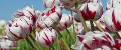 Semper Maxima-This tulip is the poster child for hybridization. Luscious double blooms of pure white feathered with deep red rise over green foliage enhanced by a white margin. One of the last tulips to flower, but worth the wait.  Height 16 inches