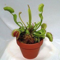 Dionaea es un género monotípico de planta carnívora en la familia Droseraceae. La única especie Dionaea muscipula, de nombre común dionea atrapamoscas o venus atrapamoscas, atrapa presas vivas —principalmente insectos y arácnidos—