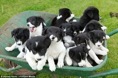 New homes needed: The much sought-after pups are worth around £170 each, meaning the Hoopers could earn over £2,000 from the bumper litter