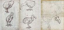 Dessins d'un dodo tiré du journal de bord d'un vaisseau de la Compagnie des Indes Orientales, le VOC Gelderland, lors d'un voyage effectué entre 1601 et 1603.