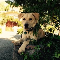 Warm hello (and puppy licks) from Posey the greeter at #lauramichaelwines. @leadingWineriesOfNapa. @lauramichaelwines