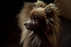 Just like sweet chocolate, the Chocolate Pomeranian can be addictive. Although they're not rare, this Pomeranian is harder to find and breed than the others. Spitz Pomeranian, Pomeranian Facts, Black Pomeranian, Pomeranians, Pomeranian Breeders, Pomeranian Haircut, Chihuahuas, Cute Puppies, Cute Dogs
