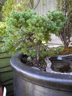 Miniature Garden Trees from Two Green Thumbs