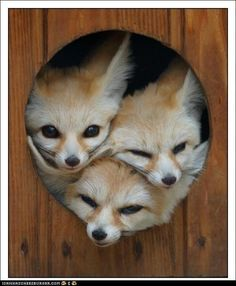 i want a pet fox..so freakin cute