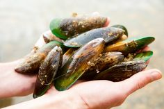 Want to know than green lipped mussel are good for your health? ★ Learn about the benefits of green lipped mussel, than can be harmful to the body and nutrition values. Itchy Dog Remedies, California Wine Club, Joint Supplements For Dogs, What Is Green, Green Lipped Mussel, Green Lips, New Zealand Food, Sustainable Seafood, Dog Diet