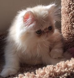 Persian kitty adult links home page