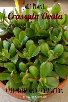 Jade Plant-Crassula Ovata Care, Propagation, Types and More