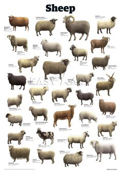 Sheep Art Print by Guardian Wallchart Easyart.com
