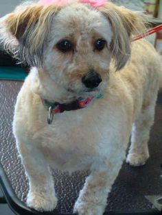 Dachshund/Poodle (Miniature) Mix Puppy for adoption in St