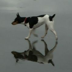Rat Terrier on ice with reflection. - Ti