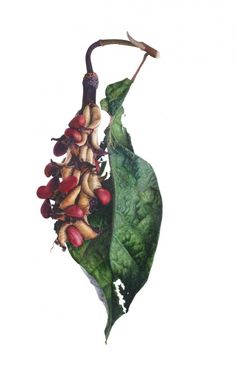 Stunning watercolour by internationally renowned botanical artist, Fiona Strickland.