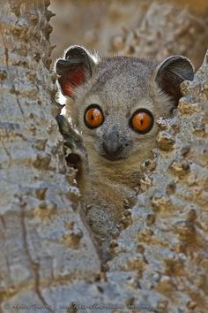 The Northern Sportive Lemur (Lepilemur septentrionalis) is one of the world's most endangered primates. This adorable animal is native to Madagascar, where there are only 18 animals alive in the wild. Nature Animals, Animals And Pets, Baby Animals, Funny Animals, Cute Animals, Primates, Mammals, Beautiful Creatures, Animals Beautiful