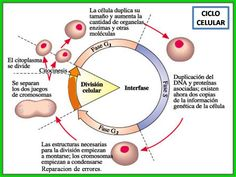 Ciclo celular. Fases.