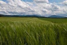 Ein weites Feld, grüne Halme wiegen sich im Wind, darüber von Wolken durchsetzter Sommerhimmel Felder, Vineyard, Mountains, Nature, Travel, Outdoor, Pictures, Heavens, Outdoors