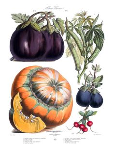 Reproduction of illustrations that were commissioned by the Parisian seed company Vilmorin-Andrieux & Cie in the late 1800