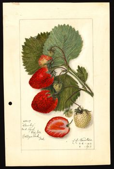 "Artist:Newton, Amanda Almira, ca. 1860-1943  Scientific name:Fragaria  Common name: strawberries  Variety: Danby   ""U.S. Department of Agriculture Pomological Watercolor Collection. Rare and Special Collections, National Agricultural Library, Beltsville, MD 20705"""