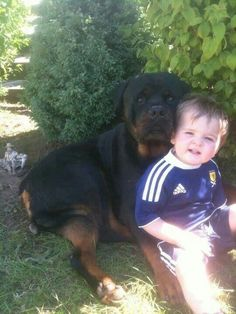 A True Rottweiler--all those folks out there who think these animals are vicious have not been around them.                                                                                                                                                                                 More