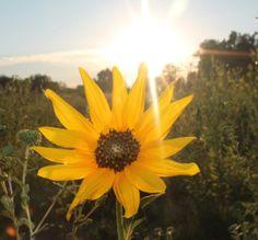 "February Garmin Gallery Finalist - Dennis Stock ""Sunflower at Nebraska Sunset"""