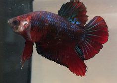 Red/blue Marble HMPK Plakat Male Live Betta Fish