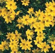Coreopsis attracts Butterfly's    With its demure veil of jeweled blooms, coreopsis adds charm to cottage gardens and formal flower beds alike. Dainty flowers, thin stems and fine foliage disguise the fact that this plant's as tough as nails. It's also great for cutting and readily attracts butterflies.