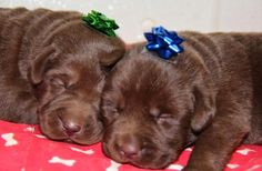 5 Breeds of Dog that like to cuddle the most. Labrador retrievers :)