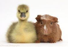 Very funny guinea pig