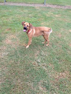 """Gus van Sant (ADOPTED!) is an approximately 7 month-old shepherd mix that is currently about 20-25 lbs. of """"pure sugar"""" puppy perfection. He's great with other dogs, and is an active, sweet, and busy boy. He's ready to go forever home! Adopted 8/2013."""