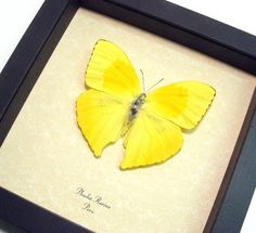 Real Yellow Teardrop Butterfly Conservation by REALBUTTERFLYGIFTS