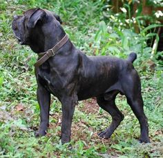 Boerboel Beautiful Dog Breeds, Beautiful Dogs, Amazing Dogs, Mastiff Breeds, Cane Corso Dog, All Breeds Of Dogs, Huge Dogs, Bully Dog, Dog Games