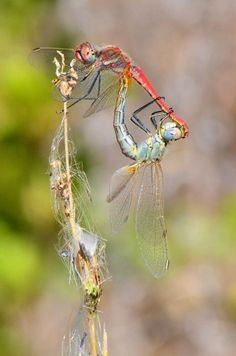 Dragonflies, predatory insects belonging to the taxonomic order Odonata, form a closed circle with their joined bodies during copulation to lock their sex organs together briefly. It is known as a wheel formation and is unique to the order Odonata.