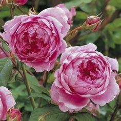 Huntington Rose david austin rose