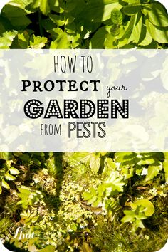 Who wants to spray chemicals on the foods in your garden - here are some simple and natural ways to protect your garden from pests.