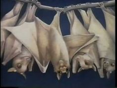 Reading Rainbow (S12xE108). Stellaluna with great information and video on bats.  Great for ELLs!