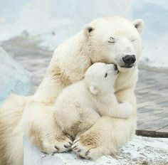 baby polar bear with mother - so beautiful animals ;-) ▫▫▫▫▫▫▫▫▫▫▫▫▫▫▫ If you want to by fantastic Bear  T-SHIRTS and hoodies, Check…