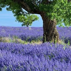 We use delicate lavender from France! #aveseenavisitsfrance #aveseena #france #lavender #skincare #naturalingredients #qualityfirst #nontoxicskincare